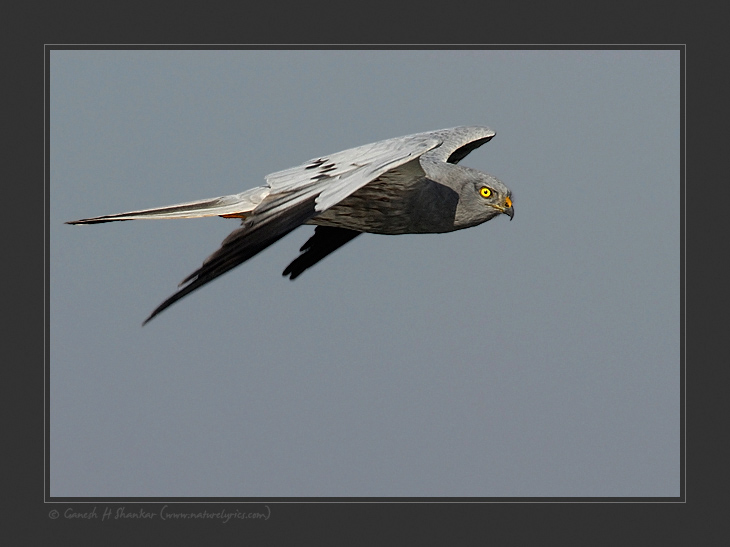 Mantagu's Harrier, TG Halli near Bangalore. | Fine Art | Creative & Artistic Nature Photography | Copyright © 1993-2017 Ganesh H. Shankar