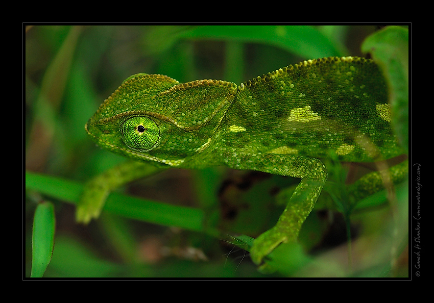 Cameleon in Nature | Fine Art | Creative & Artistic Nature Photography | Copyright © 1993-2016 Ganesh H. Shankar