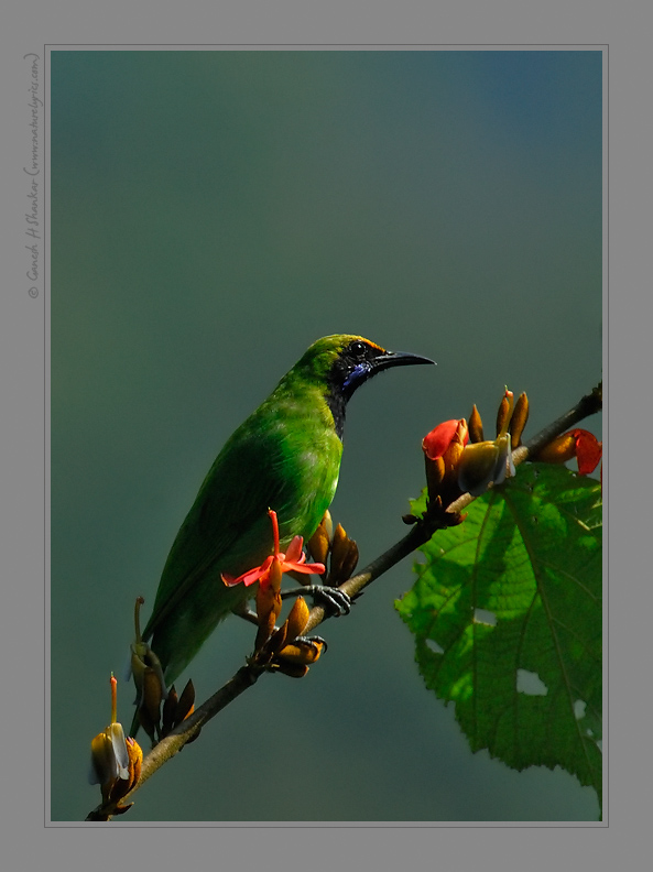 Gold Fronted Leaf Bird, Western Ghats, India | Fine Art | Creative & Artistic Nature Photography | Copyright © 1993-2017 Ganesh H. Shankar