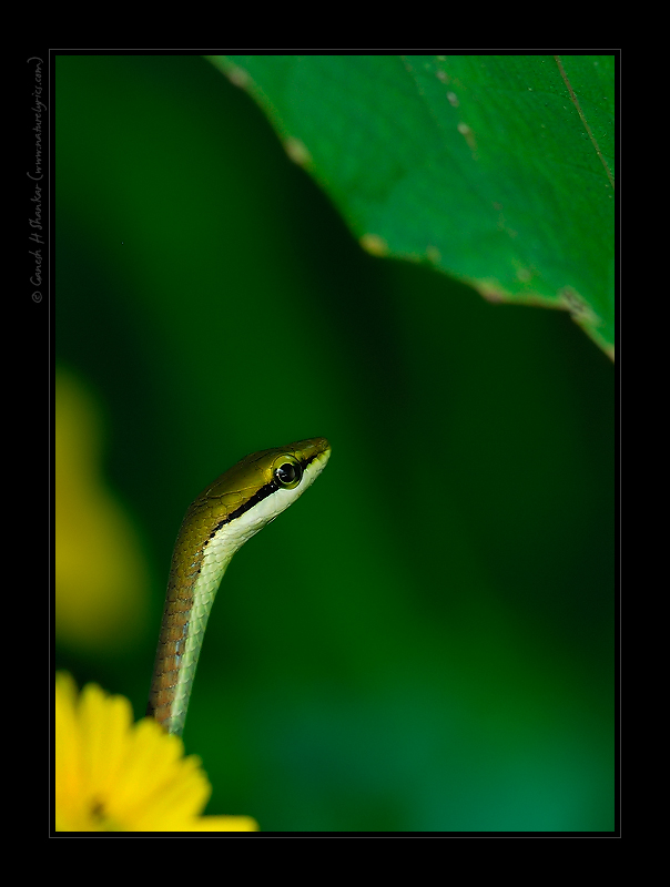 Bronze Backed Snake | Fine Art | Creative & Artistic Nature Photography | Copyright © 1993-2017 Ganesh H. Shankar