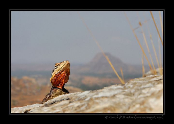 Rock Agama - wider perspective | Fine Art | Creative & Artistic Nature Photography | Copyright © 1993-2017 Ganesh H. Shankar
