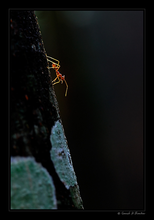 Red Ant - Backlit | Fine Art | Creative & Artistic Nature Photography | Copyright © 1993-2017 Ganesh H. Shankar
