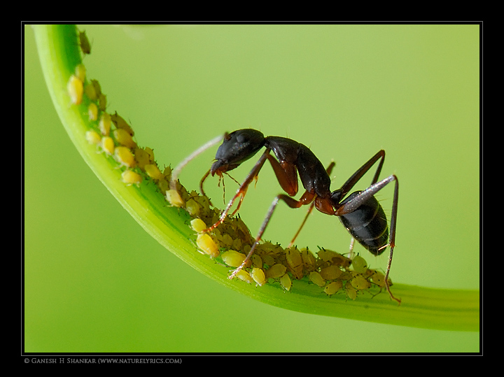 Aphids and Ants share symbiotic relation | Fine Art | Creative & Artistic Nature Photography | Copyright © 1993-2017 Ganesh H. Shankar