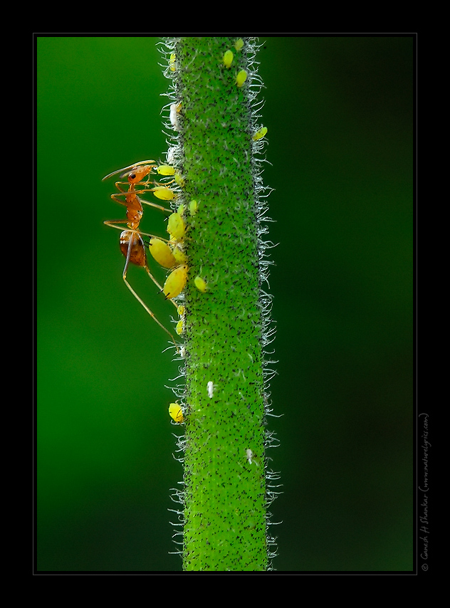 Ant eating honey dew from an aphid | Fine Art | Creative & Artistic Nature Photography | Copyright © 1993-2016 Ganesh H. Shankar