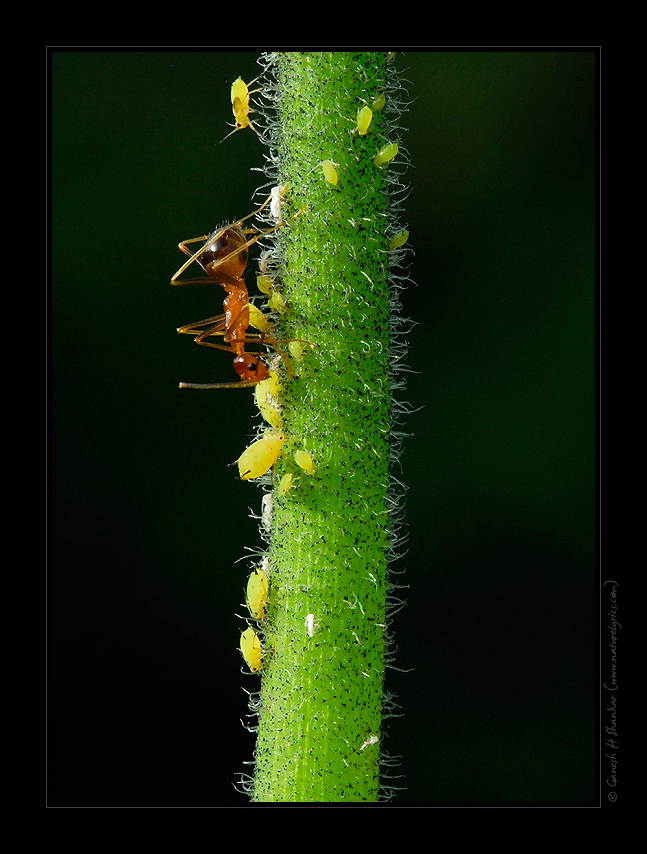 Aphids and an Ant | Fine Art | Creative & Artistic Nature Photography | Copyright © 1993-2017 Ganesh H. Shankar