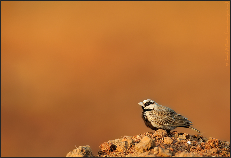 Ashy Crowned Sparrow Lark in Morning light | Fine Art | Creative & Artistic Nature Photography | Copyright © 1993-2017 Ganesh H. Shankar