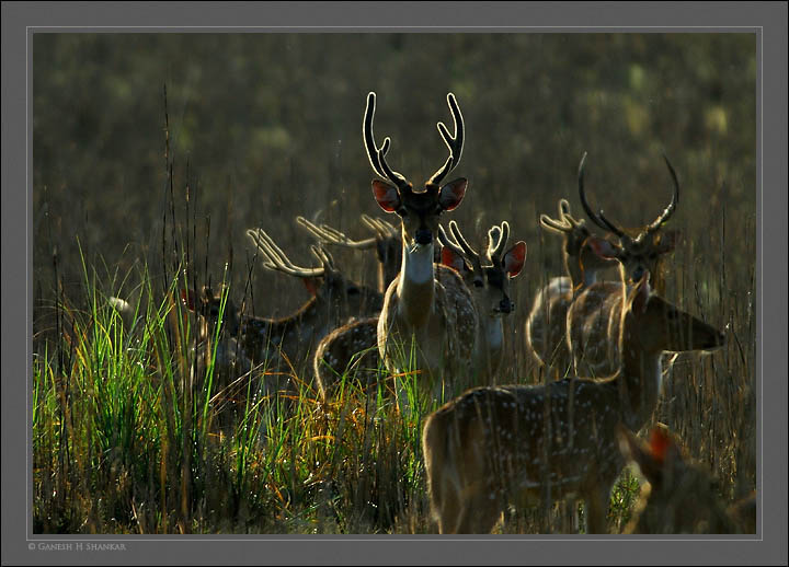 Deers Backlit, Corbet National Park, India | Fine Art | Creative & Artistic Nature Photography | Copyright © 1993-2017 Ganesh H. Shankar