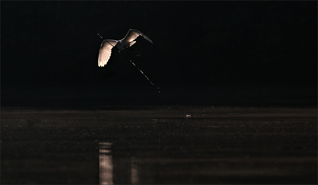 Egret Flying | Fine Art | Creative & Artistic Nature Photography | Copyright © 1993-2017 Ganesh H. Shankar