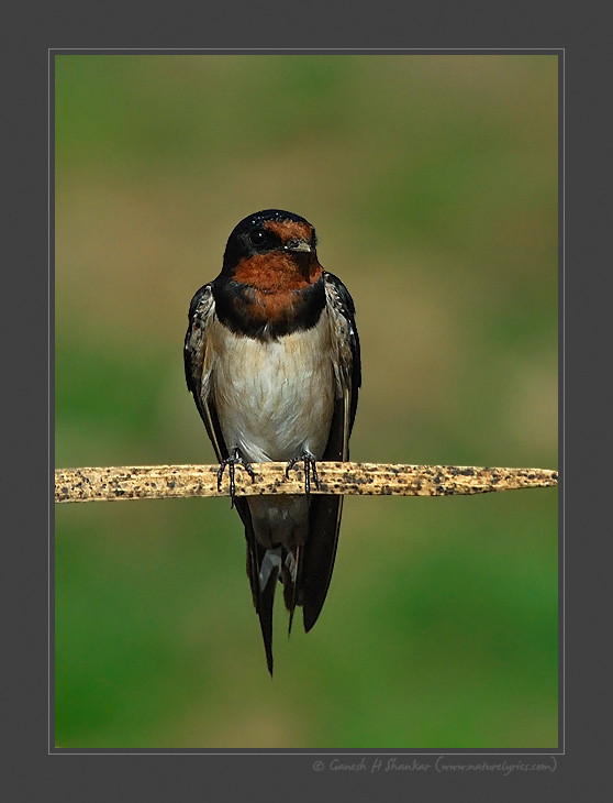 Barn Swallow | Fine Art | Creative & Artistic Nature Photography | Copyright © 1993-2017 Ganesh H. Shankar