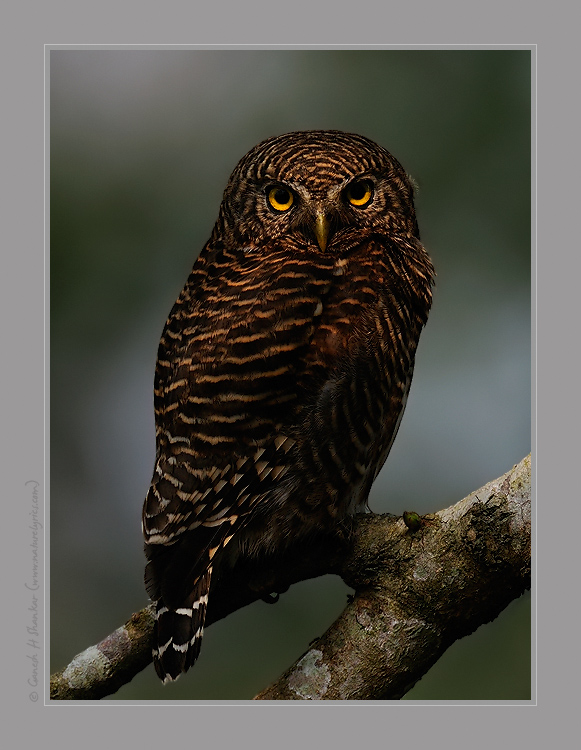 Barred Owlett, Kaziranga National Park. | Fine Art | Creative & Artistic Nature Photography | Copyright © 1993-2017 Ganesh H. Shankar
