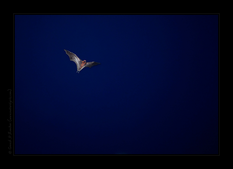 Flying bat at night | Fine Art | Creative & Artistic Nature Photography | Copyright © 1993-2017 Ganesh H. Shankar