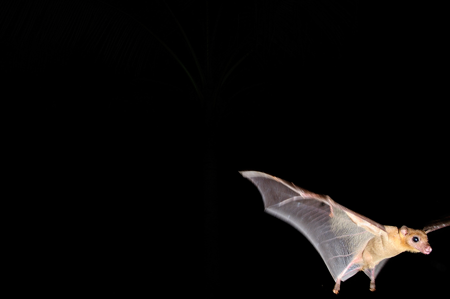 Bat in Flight at Night | Fine Art | Creative & Artistic Nature Photography | Copyright © 1993-2017 Ganesh H. Shankar