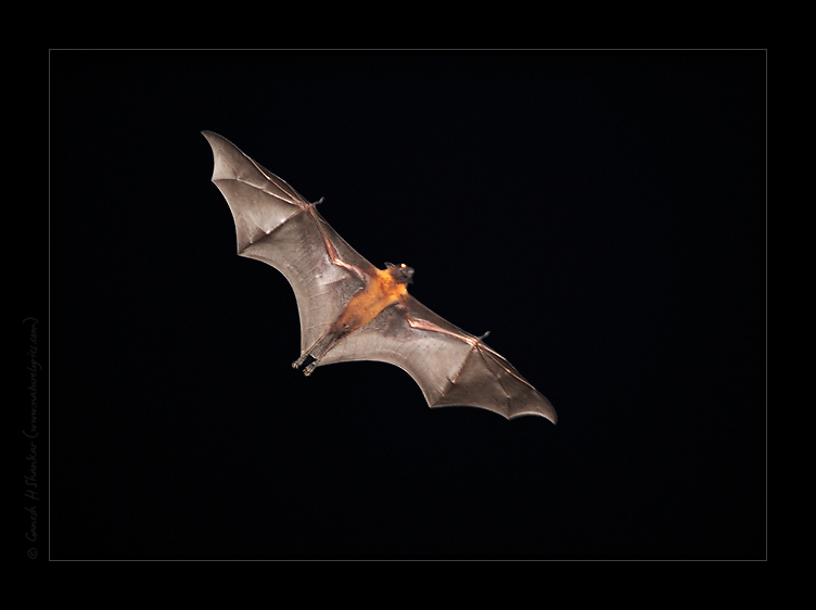 Flying Fox Bat in Night | Pteropus Giganteus | Flight | Fine Art | Creative & Artistic Nature Photography | Copyright © 1993-2017 Ganesh H. Shankar