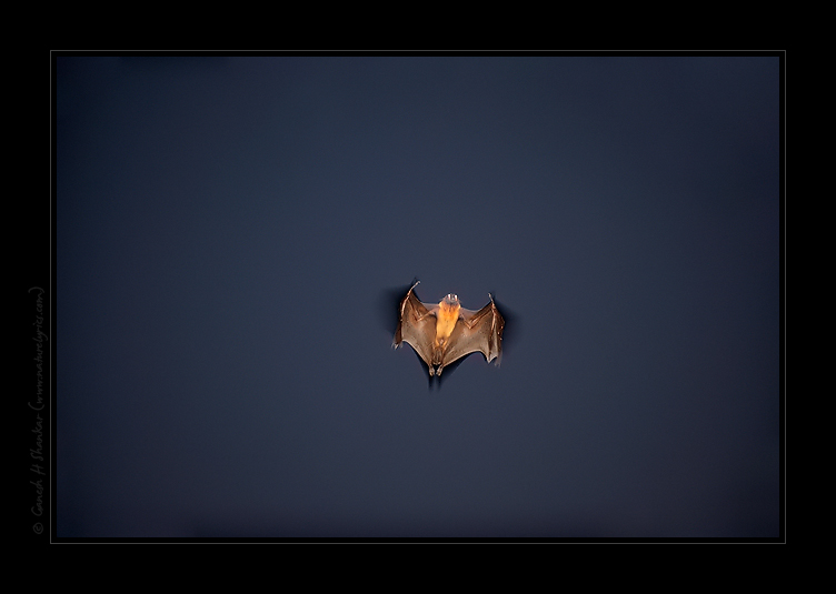 Flying Fox Bat | Pteropus Giganteus | Night Flight  | Fine Art | Creative & Artistic Nature Photography | Copyright © 1993-2017 Ganesh H. Shankar