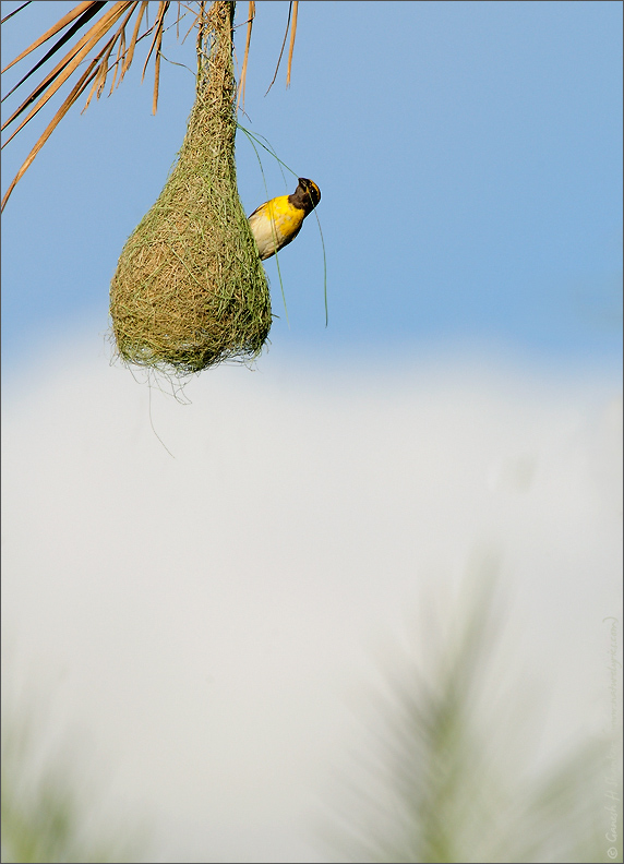 Weaver Bird Nest | Fine Art | Creative & Artistic Nature Photography | Copyright © 1993-2017 Ganesh H. Shankar