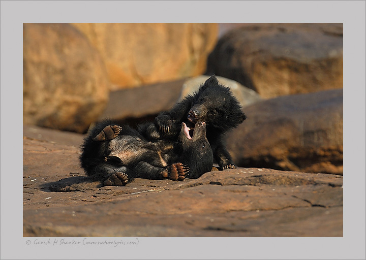SLoth Bear Cubs Fighting | Fine Art | Creative & Artistic Nature Photography | Copyright © 1993-2017 Ganesh H. Shankar