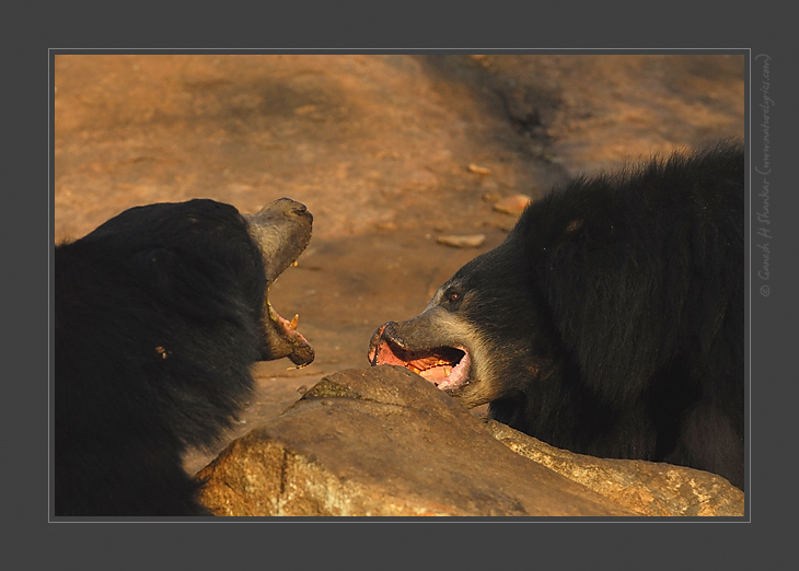 Sloth Bears Fighting, Daroji Sloth Bear Sanctuary, India | Fine Art | Creative & Artistic Nature Photography | Copyright © 1993-2017 Ganesh H. Shankar