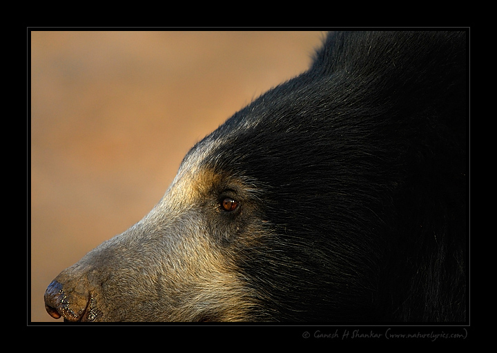 Sloth Bear - A Creative Perspective | Fine Art | Creative & Artistic Nature Photography | Copyright © 1993-2016 Ganesh H. Shankar
