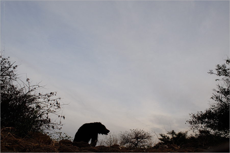 Sloth Bear in the Evening | Fine Art | Creative & Artistic Nature Photography | Copyright © 1993-2017 Ganesh H. Shankar