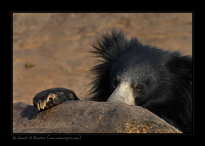 Sloth Bear - eye and nails, Daroji Sloth Bear Sanctuary | Fine Art | Creative & Artistic Nature Photography | Copyright © 1993-2016 Ganesh H. Shankar