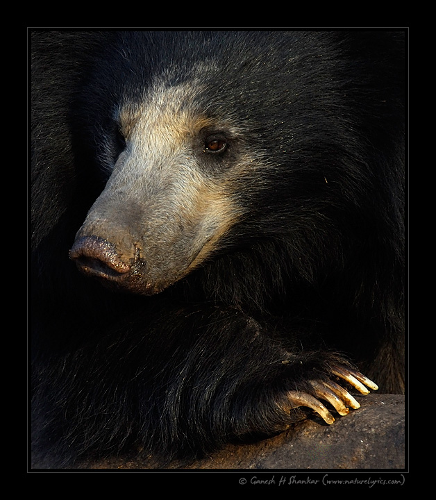 Sloth Bear - a close portrait | Fine Art | Creative & Artistic Nature Photography | Copyright © 1993-2017 Ganesh H. Shankar