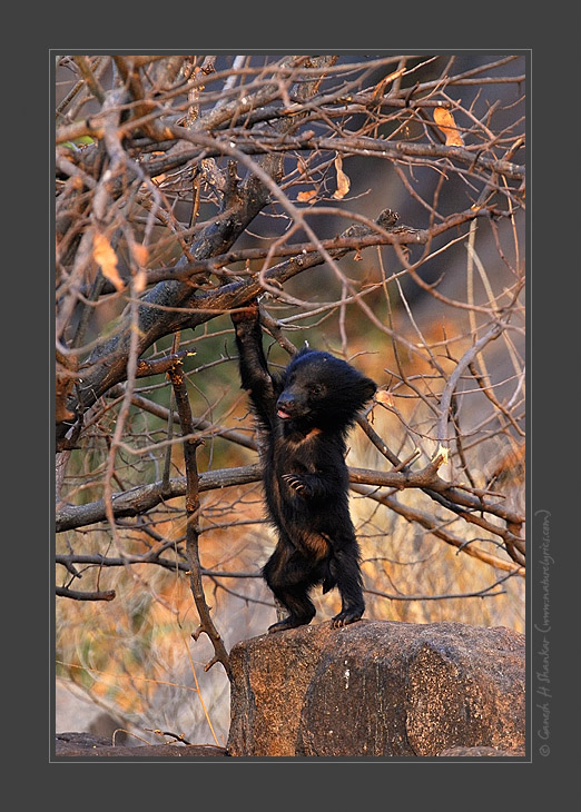 Bear Cub, Daroji Sloth Bear Sanctuary, India | Fine Art | Creative & Artistic Nature Photography | Copyright © 1993-2017 Ganesh H. Shankar