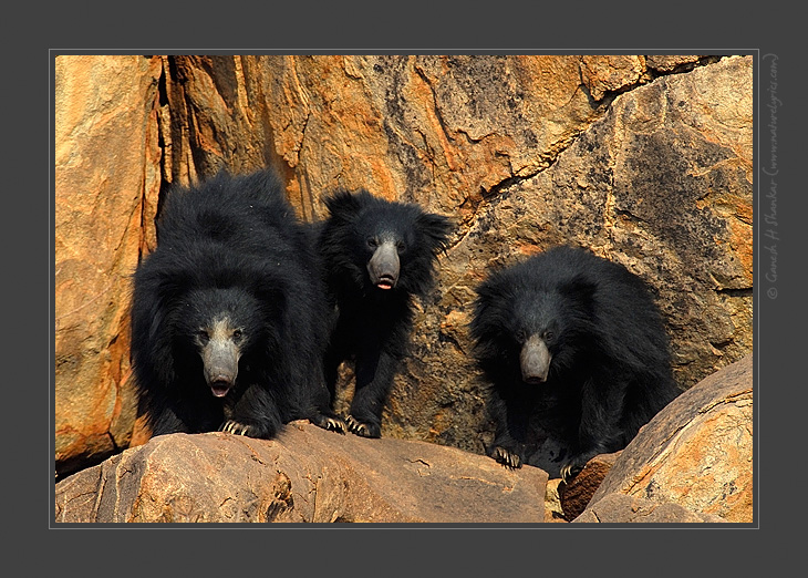 Group of Sloth Bears, Daroji Sloth Bear Sanctuary | Fine Art | Creative & Artistic Nature Photography | Copyright © 1993-2017 Ganesh H. Shankar