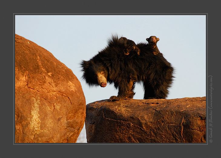 Sloth Bears - Mother and Cub, Daroji Sloth Bear Sanctuary, India | Fine Art | Creative & Artistic Nature Photography | Copyright © 1993-2017 Ganesh H. Shankar