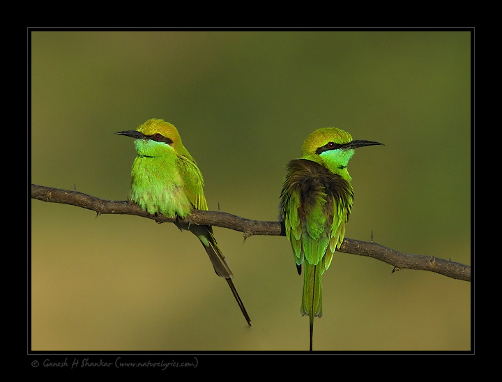 Green Bee-Eaters | Fine Art | Creative & Artistic Nature Photography | Copyright © 1993-2017 Ganesh H. Shankar