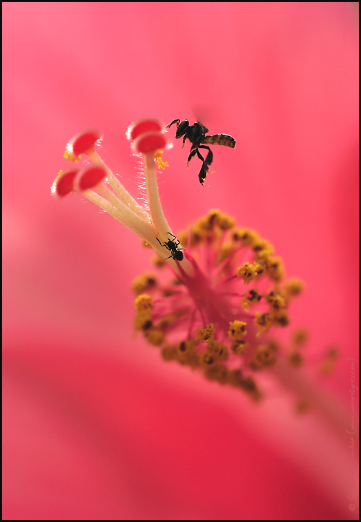 Bee and Stigma | Nature Image | Nature Photography | Photo | Nature Pictures