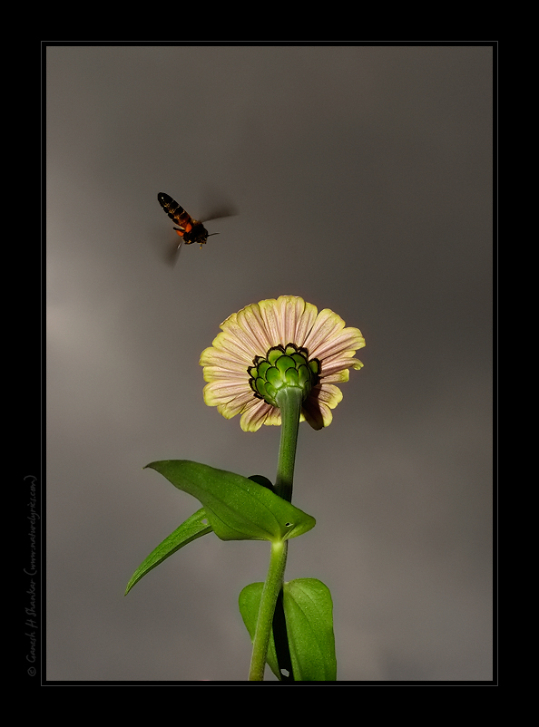 Bee and a flower | Fine Art | Creative & Artistic Nature Photography | Copyright © 1993-2017 Ganesh H. Shankar