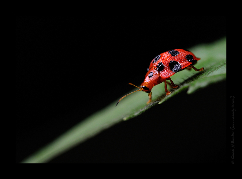 Some Beetle (?) | Fine Art | Creative & Artistic Nature Photography | Copyright © 1993-2017 Ganesh H. Shankar