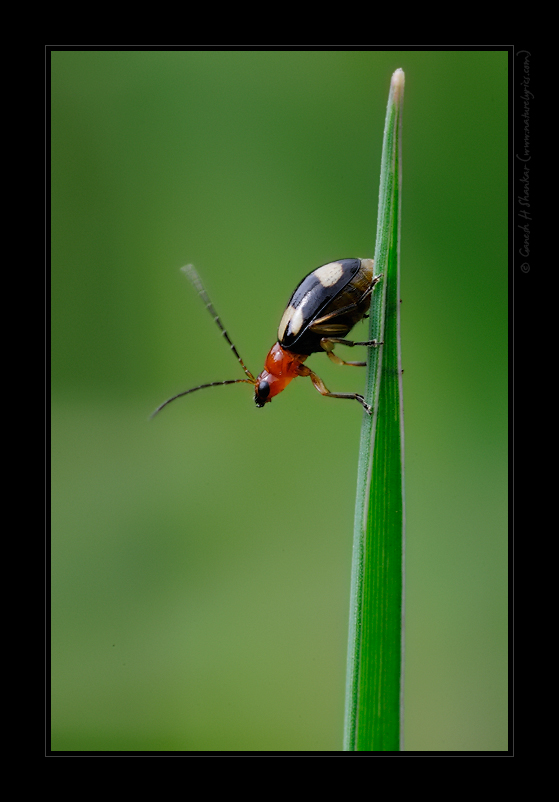 A Beetle (?) Not sure of the ID | Fine Art | Creative & Artistic Nature Photography | Copyright © 1993-2017 Ganesh H. Shankar