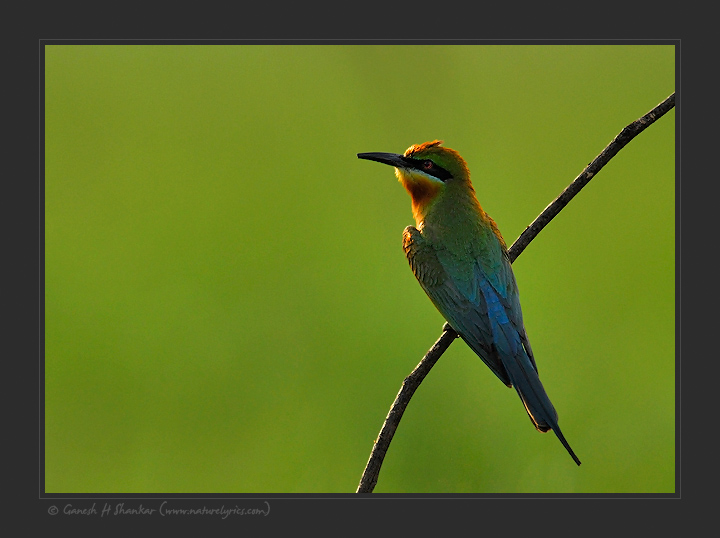 Blue Tailed Bee Eater | Fine Art | Creative & Artistic Nature Photography | Copyright © 1993-2017 Ganesh H. Shankar