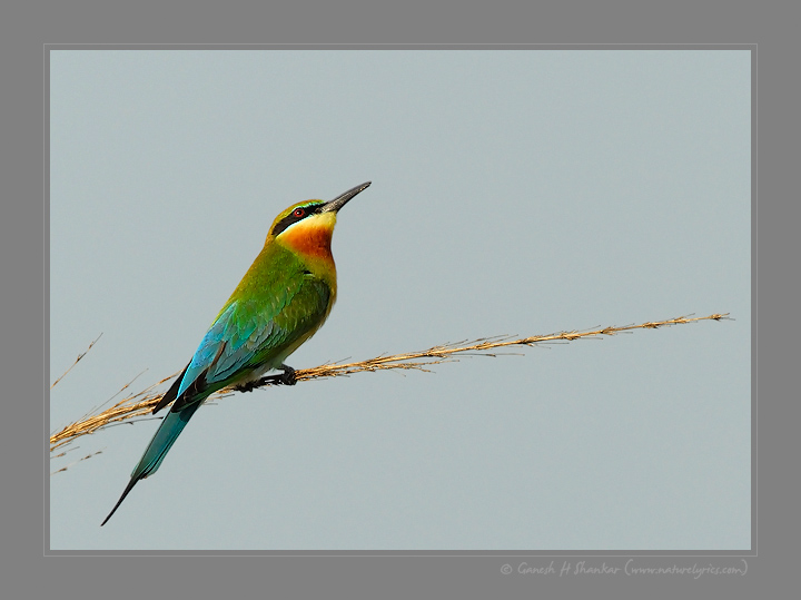 Blue Tailed Bee-Eater | Fine Art | Creative & Artistic Nature Photography | Copyright © 1993-2017 Ganesh H. Shankar