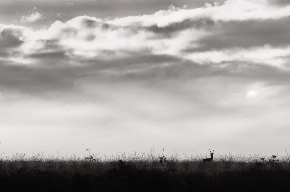 Black Buck in Grassland | Fine Art | Creative & Artistic Nature Photography | Copyright © 1993-2016 Ganesh H. Shankar