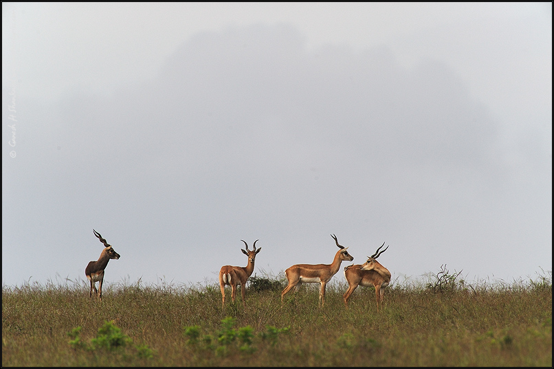 Blackbucks in Grassland | Fine Art | Creative & Artistic Nature Photography | Copyright © 1993-2017 Ganesh H. Shankar