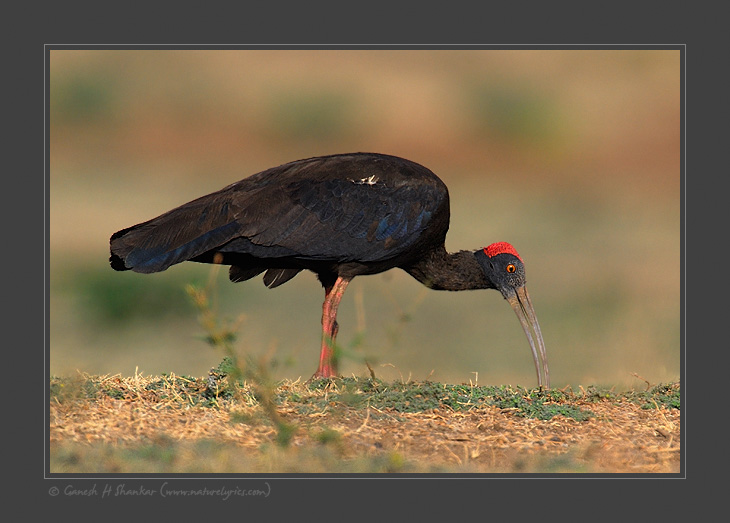 Black Ibis | Fine Art | Creative & Artistic Nature Photography | Copyright © 1993-2017 Ganesh H. Shankar