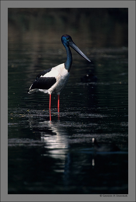 Black-necked Stork | Fine Art | Creative & Artistic Nature Photography | Copyright © 1993-2017 Ganesh H. Shankar