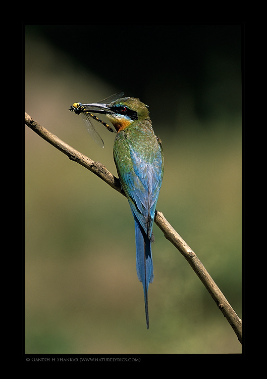 Blue-Tailed Bee Eater | Fine Art | Creative & Artistic Nature Photography | Copyright © 1993-2017 Ganesh H. Shankar