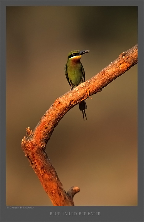 Blue Tailed Bee Eater | Fine Art | Creative & Artistic Nature Photography | Copyright © 1993-2016 Ganesh H. Shankar