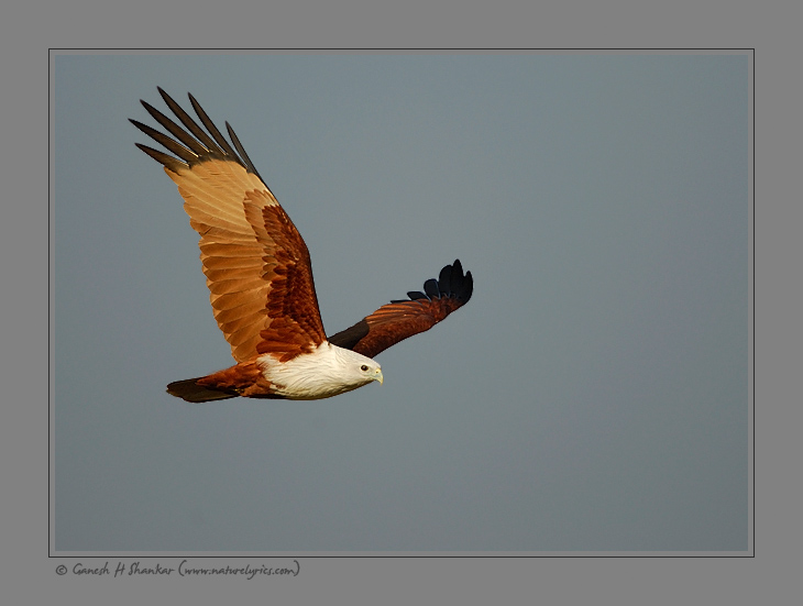 Brahmini Kite | Fine Art | Creative & Artistic Nature Photography | Copyright © 1993-2017 Ganesh H. Shankar