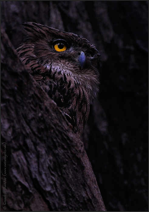 Brown Fish Owl | Nature Image | Nature Photography | Photo | Nature Pictures