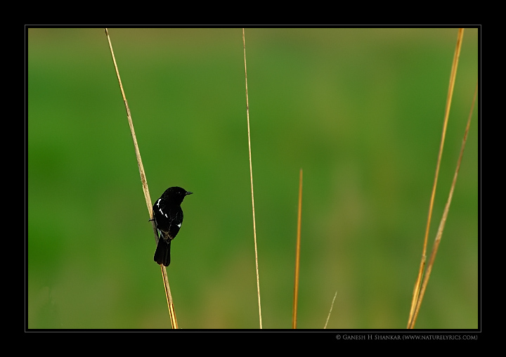 Bushchat | Fine Art | Creative & Artistic Nature Photography | Copyright © 1993-2017 Ganesh H. Shankar