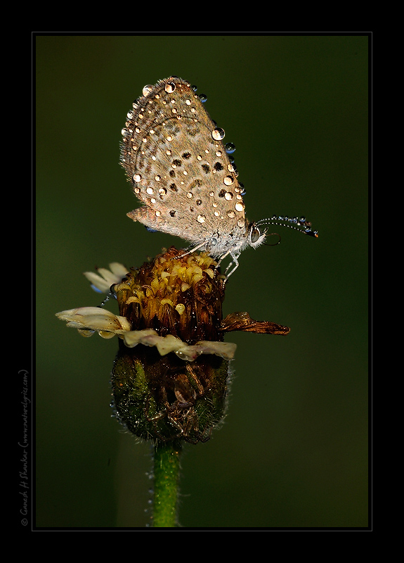 Grass Blue Butterfly and a Spider | Fine Art | Creative & Artistic Nature Photography | Copyright © 1993-2017 Ganesh H. Shankar
