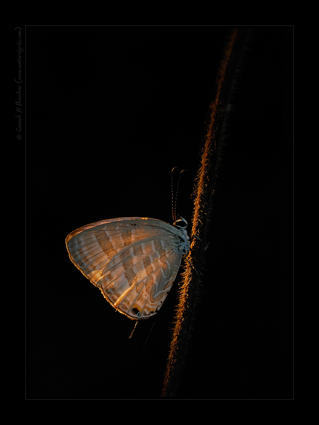 Butterfly in Torchlight, Western Ghats, India | Fine Art | Creative & Artistic Nature Photography | Copyright © 1993-2016 Ganesh H. Shankar