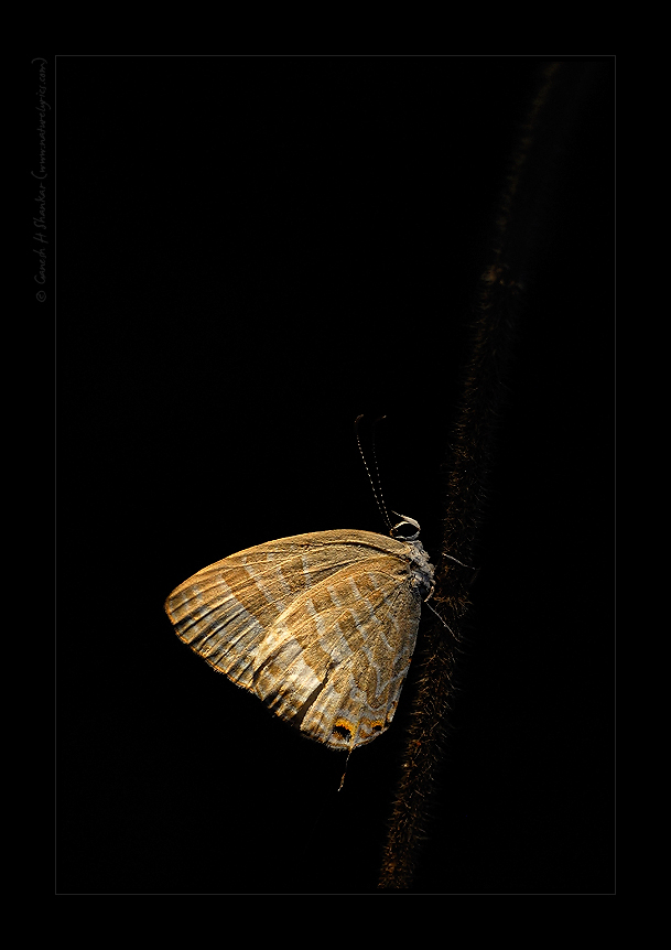 Butterfly in Simulated Evening Light, Western Ghats | Fine Art | Creative & Artistic Nature Photography | Copyright © 1993-2016 Ganesh H. Shankar