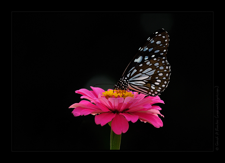 Butterfly and a flower  | Fine Art | Creative & Artistic Nature Photography | Copyright © 1993-2017 Ganesh H. Shankar