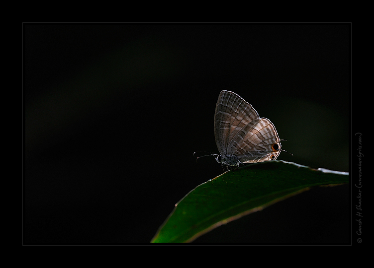 Butterfly on a Leaf | Fine Art | Creative & Artistic Nature Photography | Copyright © 1993-2017 Ganesh H. Shankar
