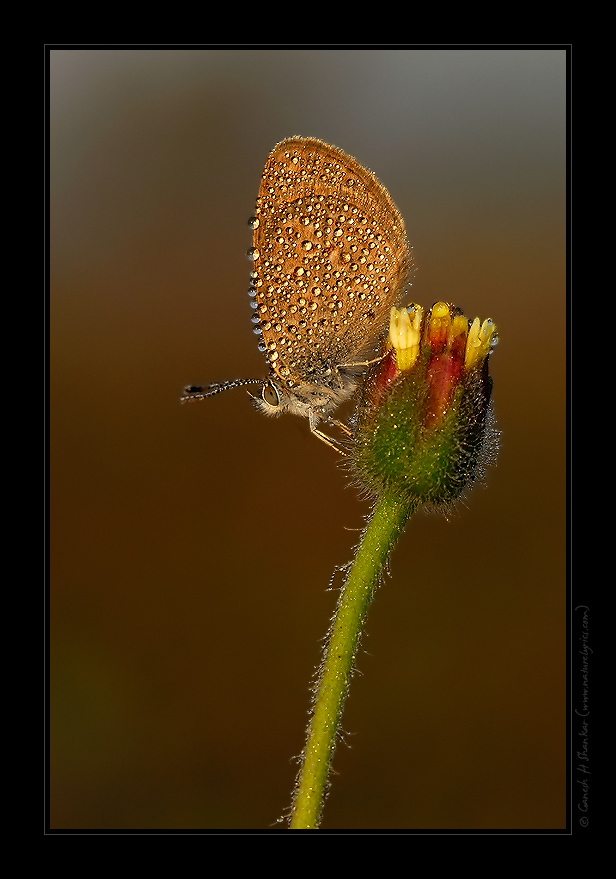 Butterfly in Dews | Early Morning Light  | Nature Image | Nature Photography | Photo | Nature Pictures